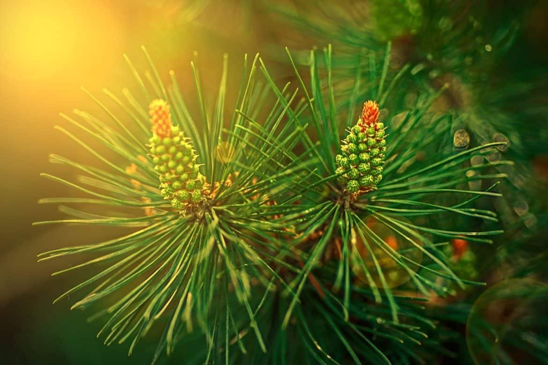 Боров прашец - състав, здравословни ползи и прием-Нутрима-бг