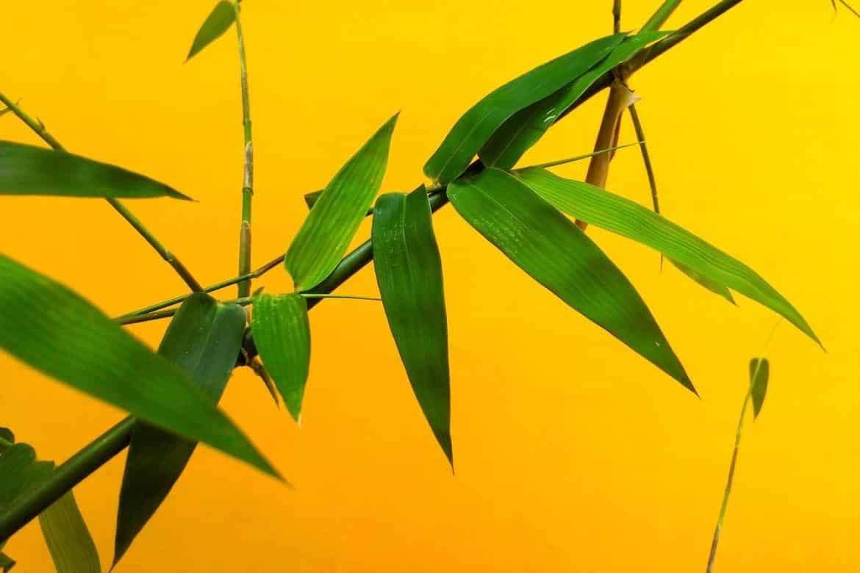 Бамбуковите листа - яркозеленият дар от природата-Нутрима-бг